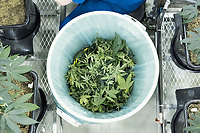 Cannabis plant trimmings lay in a trash can at the production and packaging facility for Garden Remedies, a medical cannabis producer, in Fitchburg, Massachusetts, USA, on Fri., Feb. 22, 2019. The lower end of the plants is trimmed to encourage leaf and flower growth at the top of the plants in a pruning process sometimes called lollipopping.