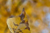 Dappled fall color on a leaf at Cisco Grove Gould Park, California.