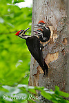Pileated Woodpecker (Dryocopus pileatus), adult female outside nest hole where two large nestlings look out  begging to be fed, New York, USA (Topaz DeNoise applied)