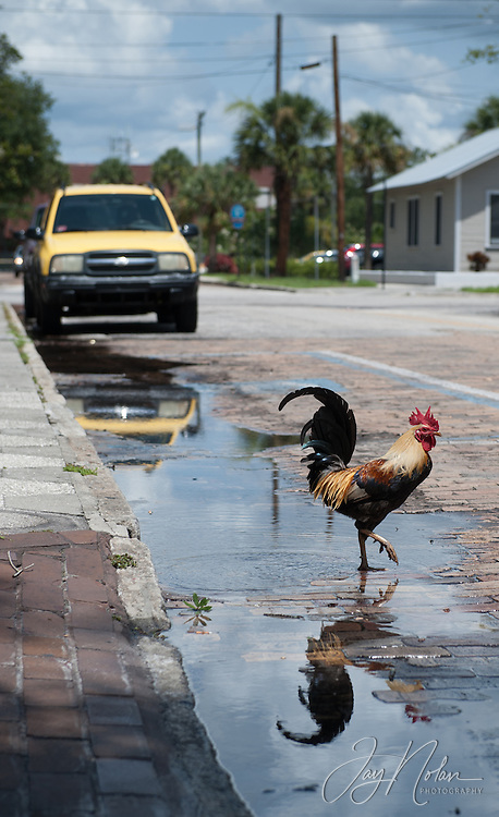 Chickens and roosters are a common sight in Ybor City today, Thursday 6/11/15.<br />