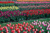 Tulip Garden. Roozengaarde Tulip farm, one of the premier growers of tulips, daffodils, and irises. Tourists from around the world visit the Skagit Valley Tulip Festival every spring. Mount Vernon, WA