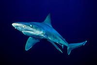 "This sandbar shark, Carcharhinus plumbeus, is displaying the ""classic"" pectoral fins down, aggressive behavior.  Hawaii. predator dangerous menacing deadly hazardous cartilaginous horizontal surface underwater danger marine"
