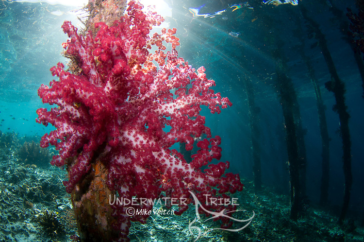 Soft coral, Dendronephthya sp., growing on the pilings of a pier, Arborek Island, Dendronephthya sp., Raja Ampat, West Papua, Indonesia, Pacific Ocean