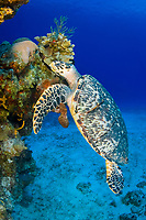 hawksbill sea turtle, Eretmochelys imbricata, hovers over the reef at Colombia, in Cozumel, Mexico, Caribbean Sea, Atlantic Ocean