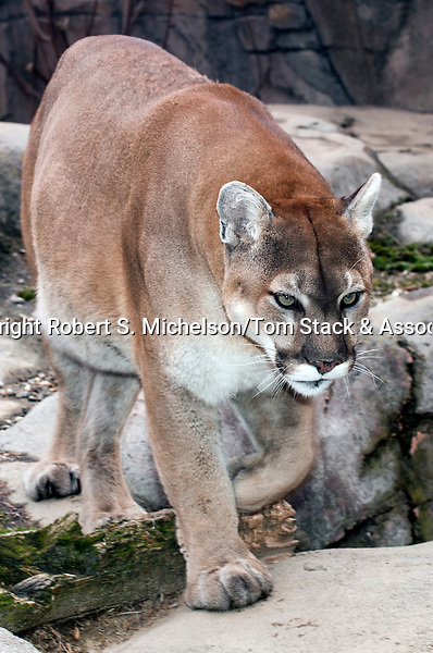 cougar, mountain lion, or puma walking to camera full body view, vertical