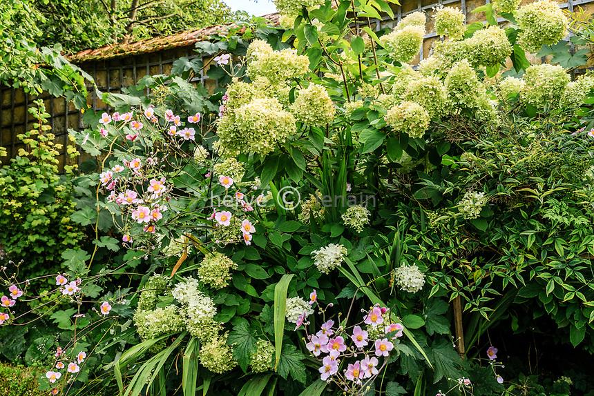 France, Sarthe (72), Le Lude, château et jardins du Lude, le potager, anémone du Japon et hortensia paniculée