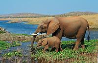 African elephant (Loxodonta africana) cow with young calf drinking from Lake Kariba.  Matusadona National Park, Zimbabwe.  Calf learns by imitating its mom.  (See also image # 3ME251).