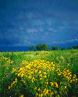 Summer Tornado Clouds & Prairie Coneflower Blooms, Homestead National Monument, Nebraska