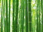 Bamboo forest culms closeup at Arashiyama bamboo forest, Kyoto, Japan.