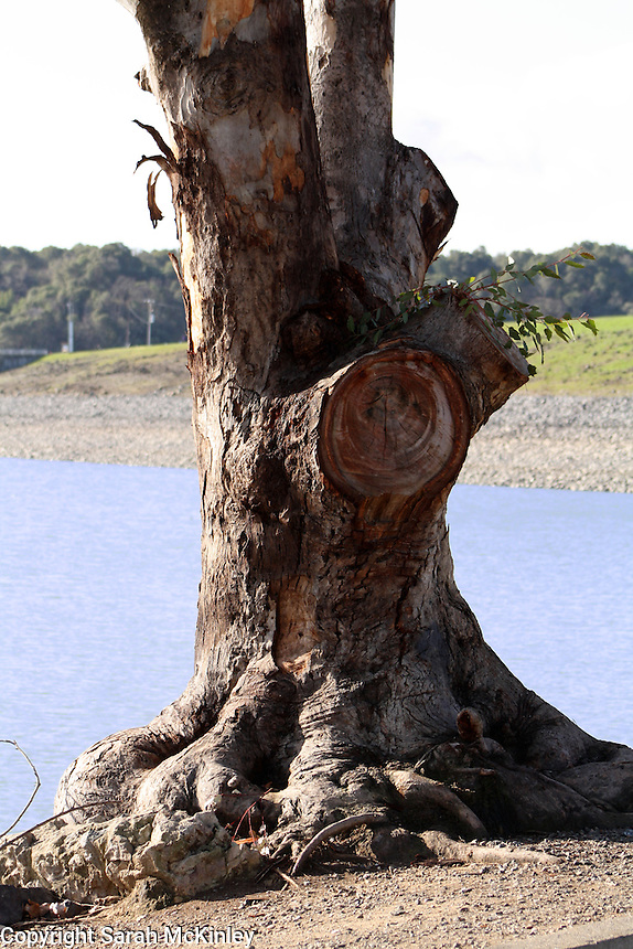 The gnarled roots and trunk of a eucalyptus tree growing next to Lake Mendocino near Ukiah in Mendocino County in Northern California.