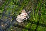 Dead sheep in river, Wiltshire, England