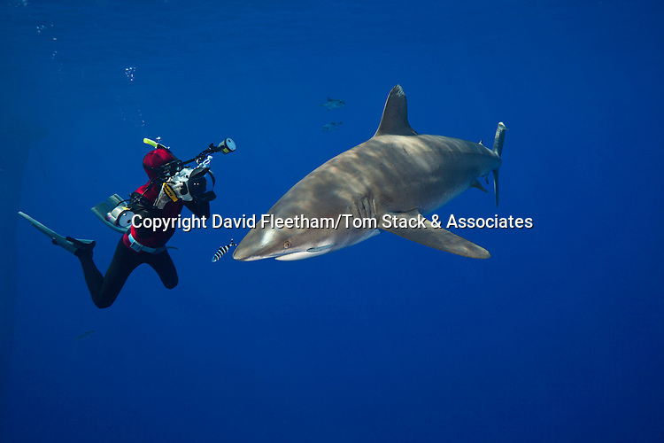 Photographer Doug Perrine (MR) lines his camera up on an oceanic whitetip shark, Carcharhinus longimanus, off the coast of the Big Island, Hawaii.