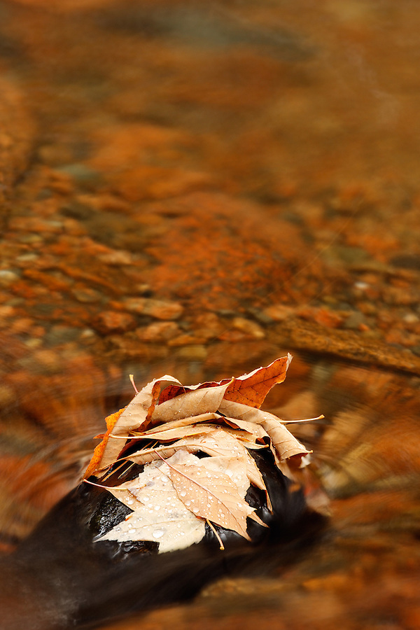 Fallen autumn leaves resting on rock in stream, Mount Desert Island, Acadia National Park, Maine, USA