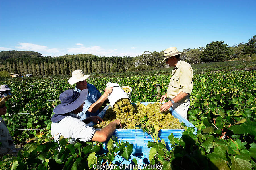 Harvest in the Tapanappa Tiers vineyard Adelaide Hills
