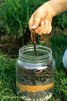 1Y01-065z  Earthworm - collecting nightcrawlers  in short term container - Lumbricus terrestris