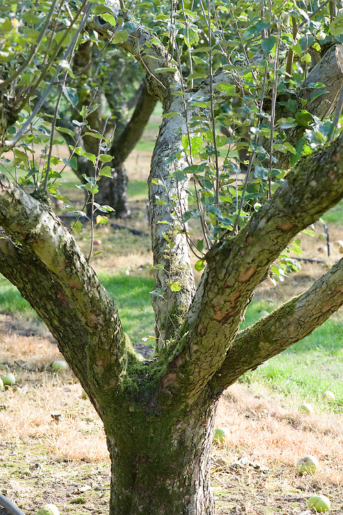 An established apple tree in the classic bush form, with a short trunk and goblet-shaped open centre.