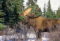 Bull moose, snow covered tundra and boreal forest, spruce trees, Denali National Park, Alaska