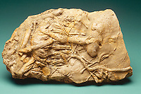 CRUZIANA FOSSIL<br />