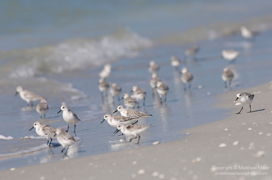 Sanibel Island, Florida; a flock of Sanderling (Calidris alba) birds at the water's edge, foraging for food, Gulf of Mexico © Matthew Meier Photography, matthewmeierphoto.com All Rights Reserved