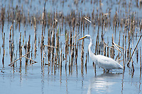 Great Egret, Ardea alba, at Tule Lake National Wildlife Refuge, Oregon