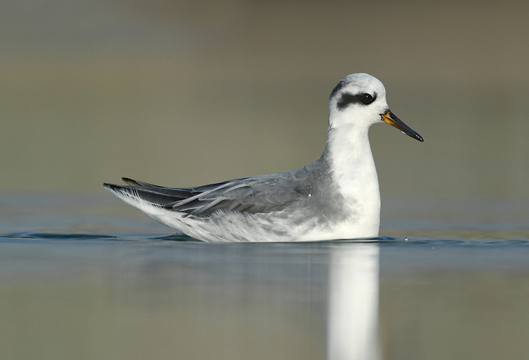 Grey Phalarope - Phalropus lobatus - Winter Adult. L 20-21cm. Confiding wader that habitually swims and spends its non-breeding life at sea. Bill is shorter and stouter than similar Red-necked, and has yellow base. Sexes are dissimilar in breeding plumage (seen here occasionally). Winter adult has grey upperparts, white underparts, dark cap and nape, and black 'panda' mark the eye. Adult female in summer has orange-red neck and underparts, dark crown, white face patch, and buff-fringed dark back feathers. Adult male in summer is similar but duller. Juvenile recalls winter adult but plumage is tinged buff and back feathers are dark with buff fringes. Voice Utters a sharp pit flight call. Status Nests in high Arctic, winters in tropical seas and seen here on migration, mostly in autumn but sometimes spring. Mainly coastal but sometimes on reservoirs.