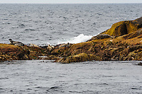 Norway, Vesteraalen. Whale safari from Stø in Vesterålen. On the way back a stop at Anda Island nature reserve to watch seals and birds. Harbor seals on the rocks.