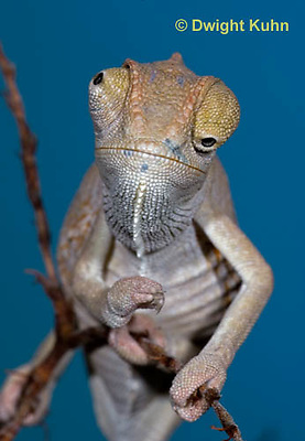 CH47-850z  Veiled Chameleon three month old young close-up of face and eyes, Chamaeleo calyptratus