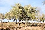 Cork oak trees in Sierra de Aracena, Huelva province, Spain