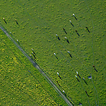 cows grazing helicopter aerial
