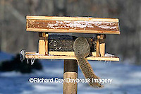 00585-00818  Fox Squirrel & White-breasted Nuthatch on feeder in winter Marion Co.  IL