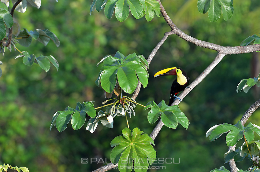 Chestnut Mandible or Swainson's Toucan (Ramphastos swainsonii) Selecting fruit from cecropia tree