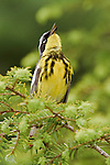 Magnolia Warbler (Dendroica magnolia) perched on a spruce branch and singing, Ontario Canada.