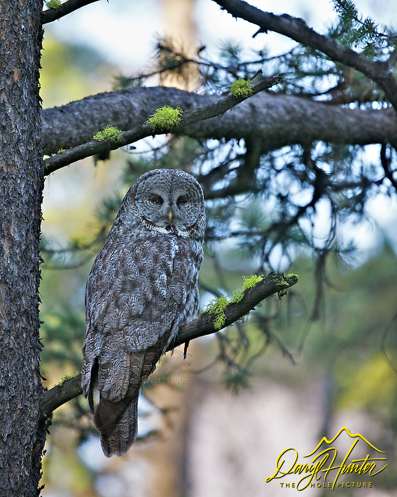 Great Grey Owl, Yellowstone National Park