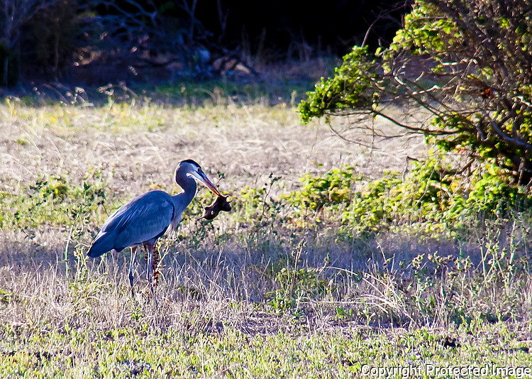 Great Blue Heron and its prey