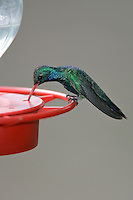 Broad-billed Hummingbird - Cynanthus latirostris - Adult male