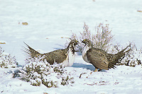 Two male sage grouse confront one another over territory on a lek during spring mating season.  Western U.S.