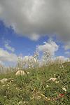 Israel, Shephelah, Common Asphodel flowers near Tel Zafit