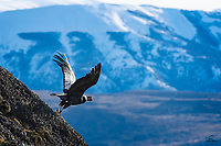 We saw a bunch of Andean Condors (Vultur gryphus) gathering near the site of a Puma kill, on a mountaintop just outside of Torres del Paine National Park in Chile. This adult male flew right in front of us before landing on the sheer steep cliff side. Here he takes off to join his compatriots, who apparently decided the Puma was too close and too alert with respect to its kill.