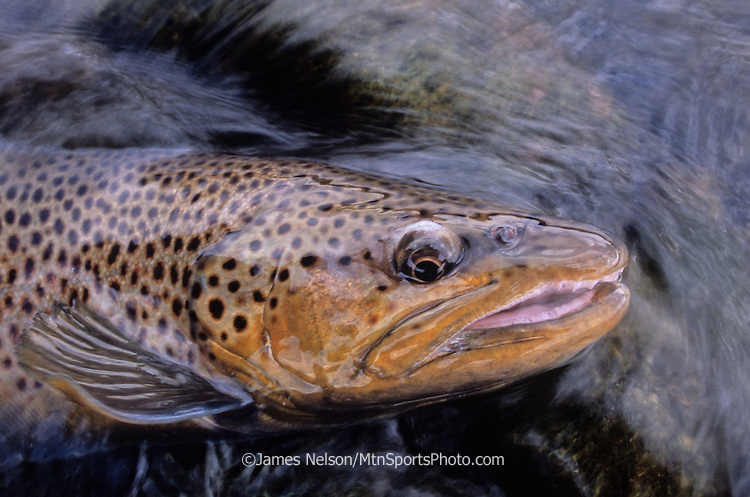 0877-D. Brown trout; South Fork of the Snake River, Idaho.
