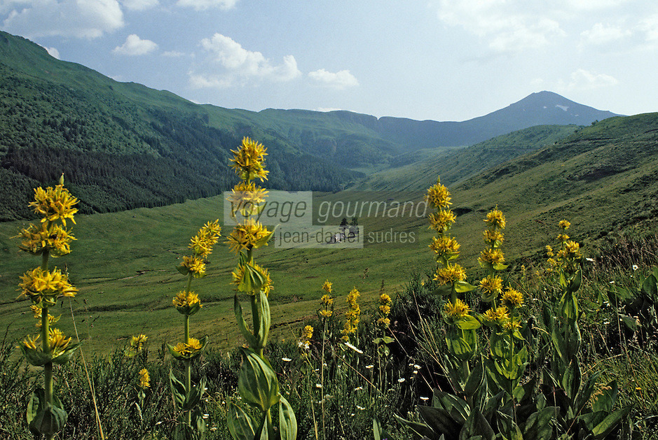 Europe/France/Auvergne/15/Cantal/Parc Régional des Volcans/Massif du Puy Mary (1787 mètres): Gentianes