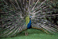 Indian Blue Male Peacock (Pavo cristatus) performing Mating Ritual