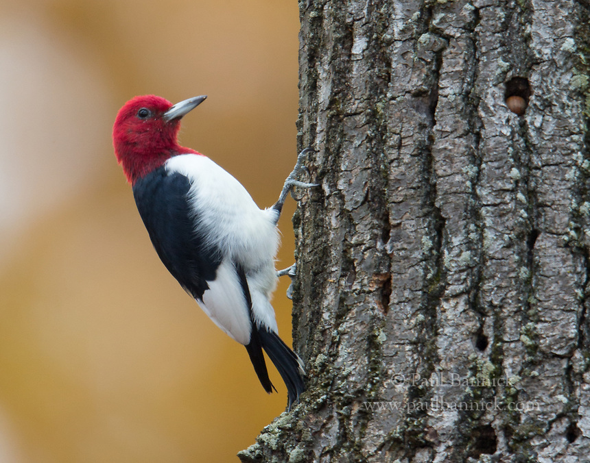 A Red-headed Woodpecker prepares to fly after wedging an acorn into a hole in an old snag.  The collection of holes comprises a granary.