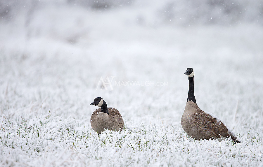 Canada geese endure a spring snowfall.