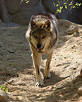 Mexican wolf walking