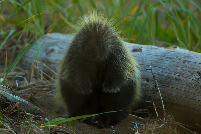 A porcupine wanders by my campsite at sunset in Lake Clark National Park, Alaska. Photo by Gus Curtis.