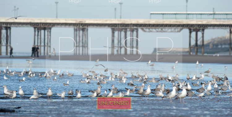 16/02/2011 Blackpool Lancashire UK.Seagulls gather at the waters edge...© Phill Heywood.