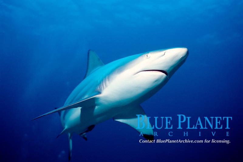 blacktip shark Carcharhinus limbatus Bahamas, Caribbean Sea, Atlantic Ocean