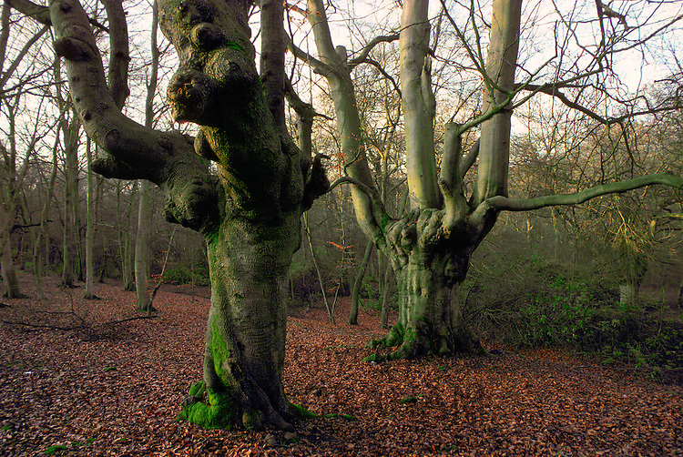 Knarled beech trees with bare branches surrounded by autumn leaves in Burnham Beeches forest  in Buckinghamshire, England