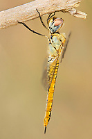 343000001 a wild female wandering glider pantala flavescens perches on a dead plant stem at hornsby bend water treatment plant in austin texas united states