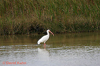 0111-0990  White Ibis Hunting for Prey in Wetlands, Eudocimus albus  © David Kuhn/Dwight Kuhn Photography.